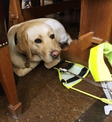 Athena the guide dog finds a cosy spot